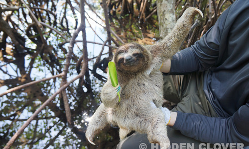 Docile_sloth_posing_with_mangrove_leaf